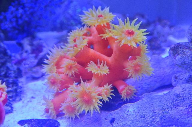 ジュウジキサンゴ(オレンジ 美イエローポリプ)