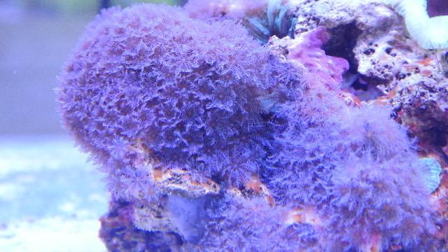 イタアザミ(美ブルー)の芽