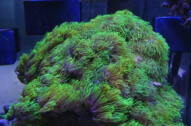 沖縄産極美スターポリプの芽(ロングポリプ)