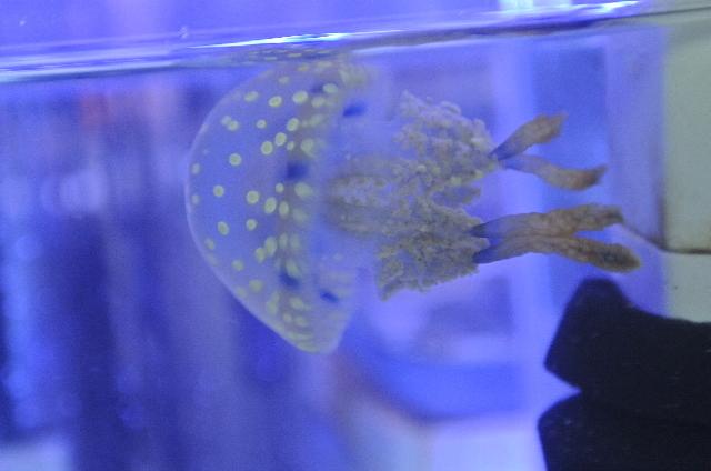 タコクラゲ(水玉模様)