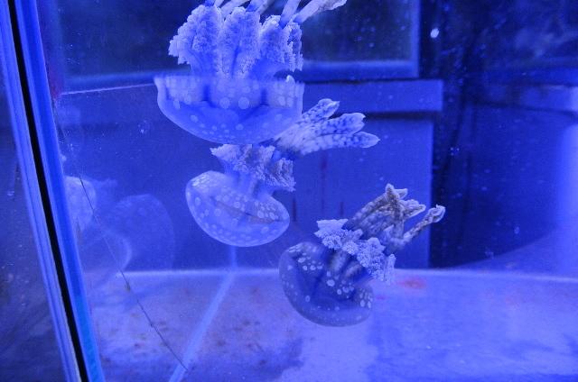 タコクラゲ(水玉模様 ブルー)大きめ