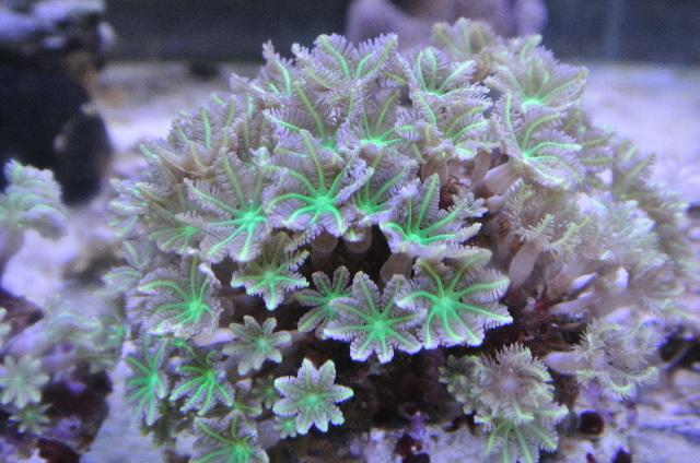 ツツウミヅタ(極美グリーンストライプ)セレベス産