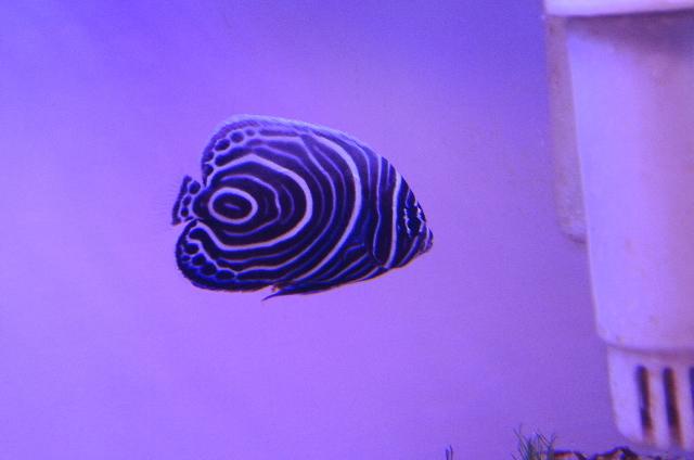 ウズマキ(幼魚 小さめ)スリランカ産