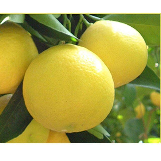 ニューサマーぽん酢ドレッシング 120ml 伊豆 特産 ニューサマーオレンジ  日向夏 フルーツ