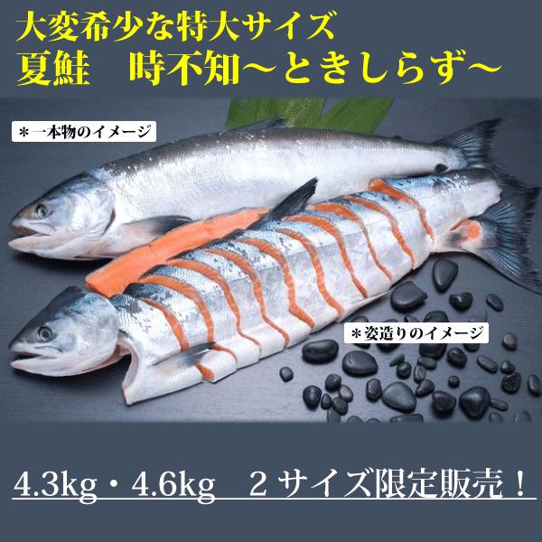 【オンライン限定】大変希少な特大さしみ鮭時不知姿造り(半身通常切身・半身ブロック切身)4.3kg・4.6kg