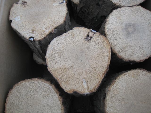 空中栽培コナラ産卵木 A品 L (直径 120mm前後) 1箱(5本)