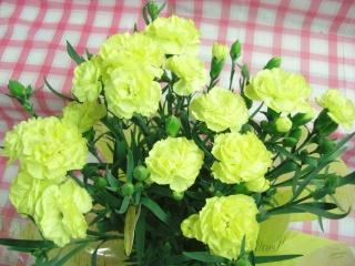 カーネーション(クリーム色)鉢花 5号 カゴ入