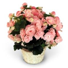 バラ咲きベゴニア新品種「ビノスソフトピンク」