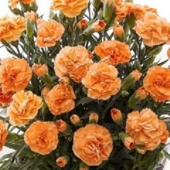 カーネーション鉢植え オレンジワッフル5号カゴ付