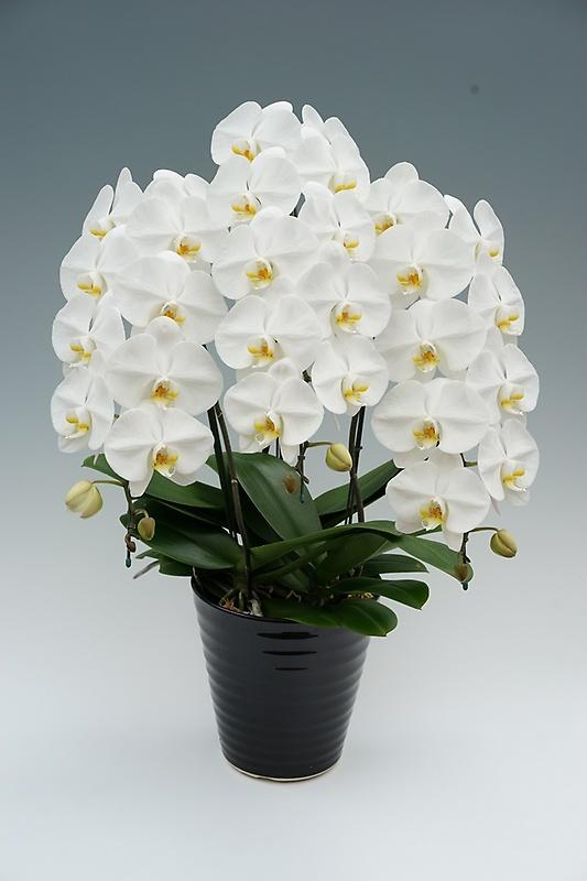 高級大輪コチョウラン鉢植え 白3本立 30輪前後