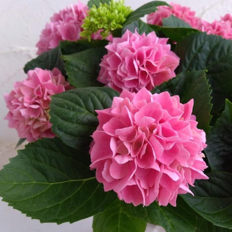【母の日フラワーギフト】アジサイ鉢植え 新品種 茜雲5号