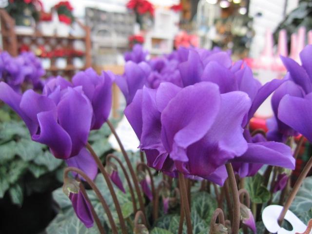 希少なブルー系のシクラメン鉢植え 香りのアロマブルー5号鉢