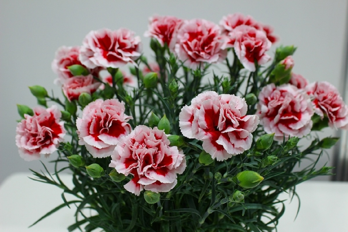【母の日フラワーギフト】カーネーション鉢植え「いちごホイップ」5号カゴ入