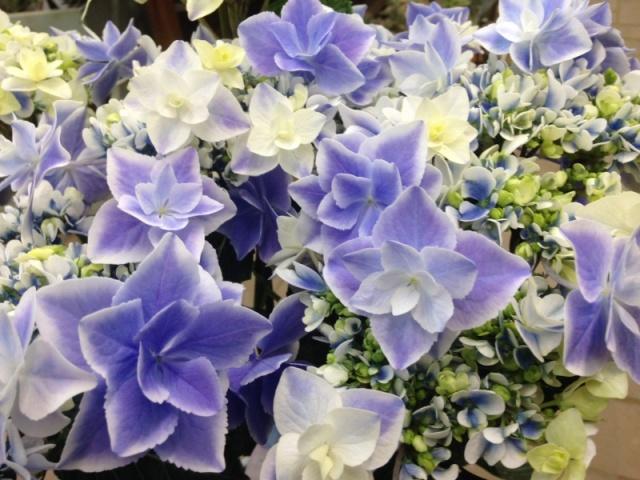 【母の日フラワーギフト】アジサイ鉢植え 新品種「銀河」5号