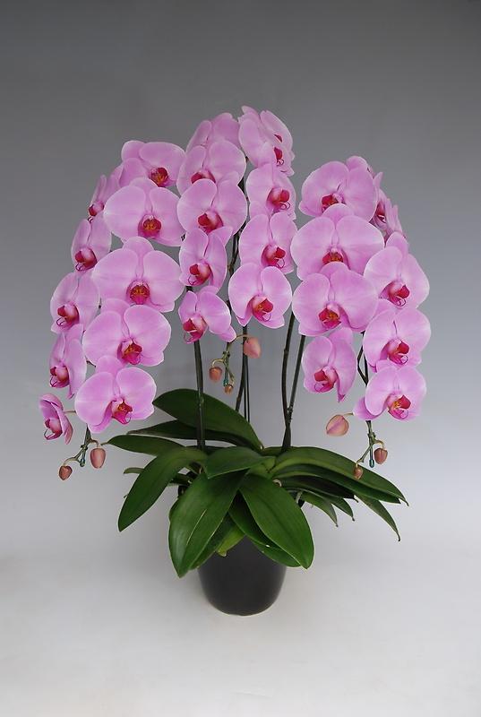 高級大輪胡蝶蘭鉢植え ピンク3本立 30輪前後