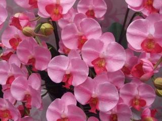アート胡蝶蘭M5本立ピンク