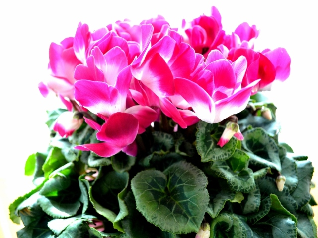 ボリュームのシクラメン鉢植え プルマージュ(複色系)6号鉢