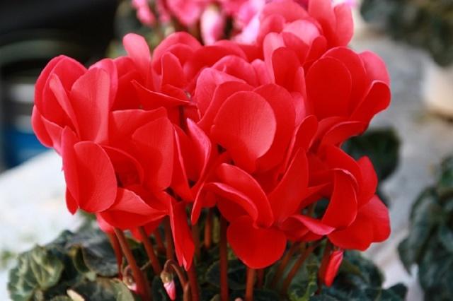 シクラメン鉢植え赤
