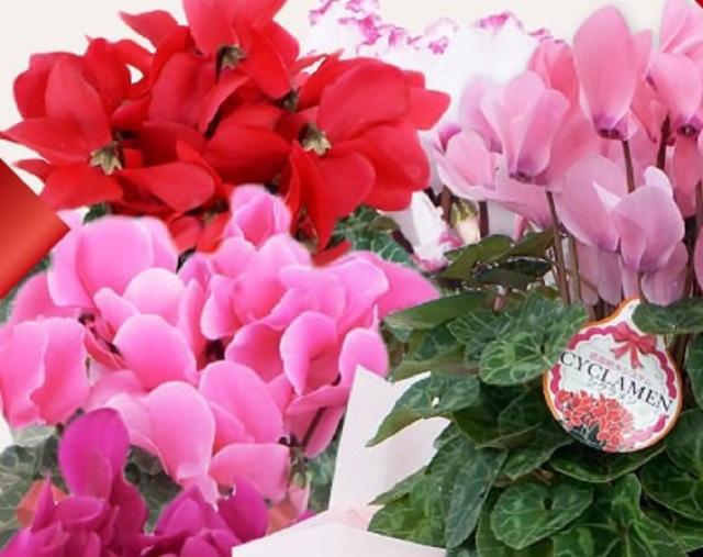 シクラメン5号鉢赤ピンクセット