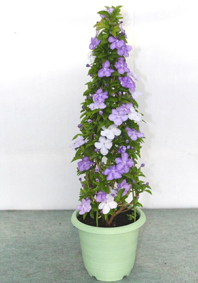 【母の日フラワーギフト】アメリカジャスミン 鉢植え タワー立て 5号
