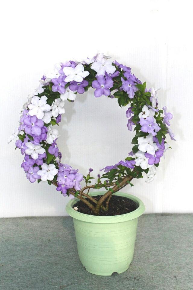 【母の日フラワーギフト】アメリカジャスミン 鉢植え リング仕立て 5号