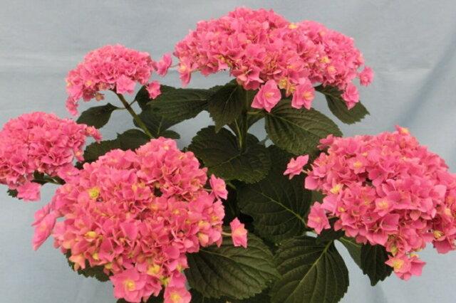 【母の日フラワーギフト】アジサイ 鉢植え もこもこたん ピンク 5号