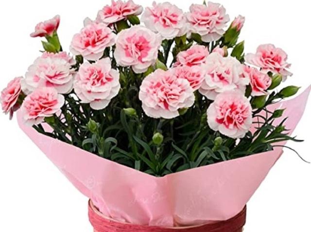 【母の日フラワーギフト】カーネーション鉢植え「さくらフロマージュ」5号カゴ入