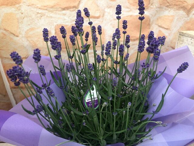 【母の日フラワーギフト】香りの イングリッシュ ラベンダー 鉢植え 5号