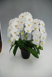 高級大輪コチョウラン鉢植え 白3本立 25輪前後