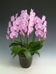 高級大輪胡蝶蘭鉢植え ピンク3本立 25輪前後