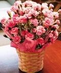 カーネーション ピンク花鉢 5号(カゴ入)