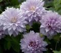 レマチス八重 薄紫 ベル・オブ・ウオーキング6号