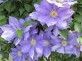 クレマチス鉢植え 青紫系