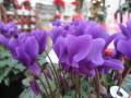 希少なブルー系のシクラメン鉢植え 香りのアロマブルー4号鉢