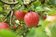 【送料無料】元年 福島県 須賀川産 早生ふじりんご 5kg 【同梱不可】