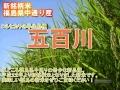 福島 米 五百川 新品種