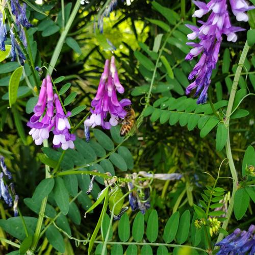 ヘアリーベッチ(ナヨクサフジ)の花に訪れるミツバチ