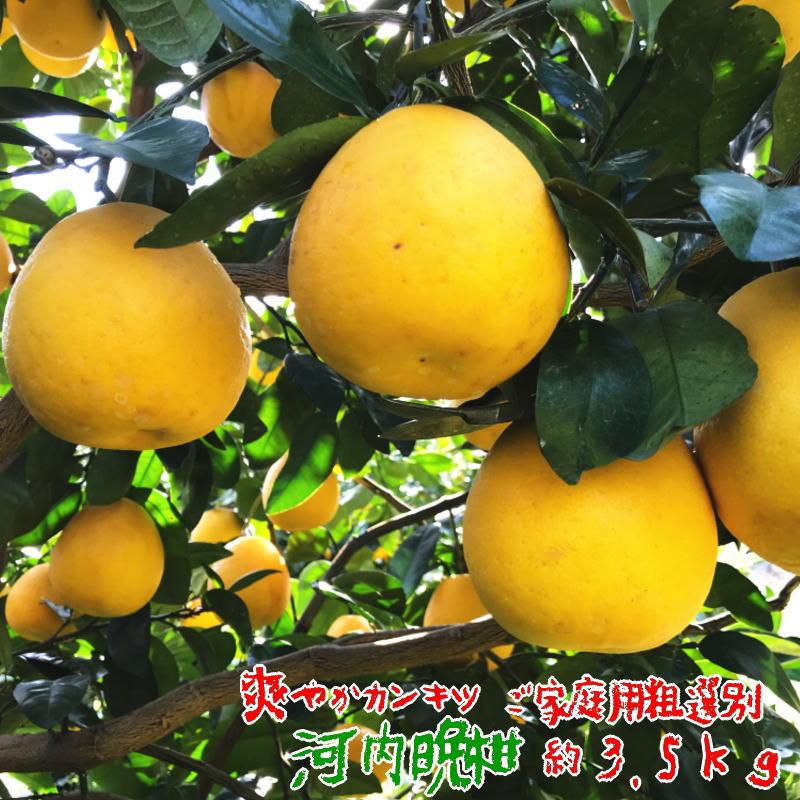 ご家庭用粗選別 河内晩柑 約3.5kg 【送料無料】【訳あり】