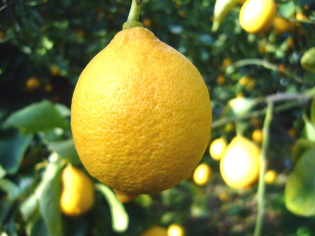 収穫直送、農薬控えめ新鮮レモン大小混合5kg入り