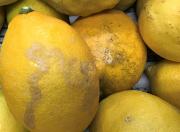 激安企画 [加工用] 収穫直送、農薬控えめ新鮮レモン大小混合10kg入り