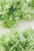 カシワバアジサイ(単色)  クリアグリーン