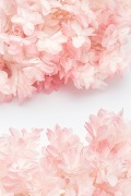 カシワバアジサイ (グラデーション加工)  ホワイトピンク