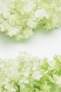 カシワバアジサイ (グラデーション加工)  ホワイトグリーン