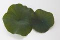 ハスの葉 グリーン