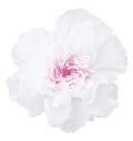 ミニカーネーション・ミルフィーユ ホワイトピンク