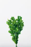 樹蘭 グリーン