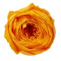 ローズ・ココット フルーティーオレンジ 02730-351