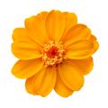 ジニア・小 フルーティーオレンジ