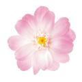 ジニア・小・グラデーション ホワイトピンク