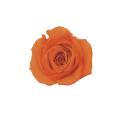 ローズ・いずみ パッションオレンジ 60%OFF ※メーカー廃盤による在庫処分価格です。